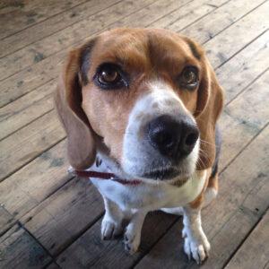 A Beagle Named Roxy